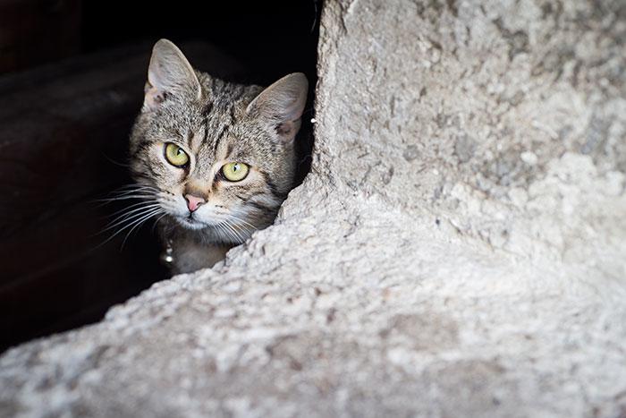 Kissan Adoptointi
